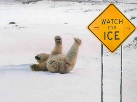 Polar-Bear-slipping-on-ice_jpg[1]